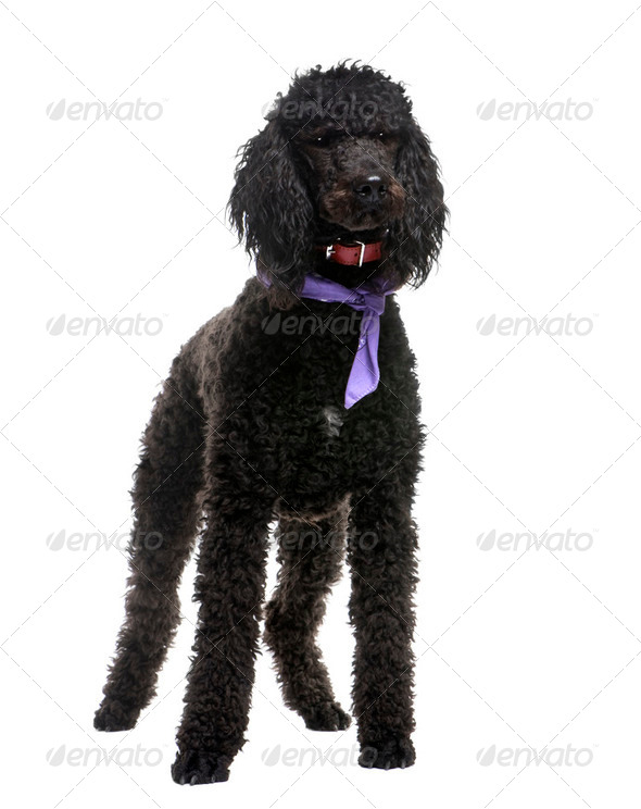 royal Poodle (18 months) - Stock Photo - Images