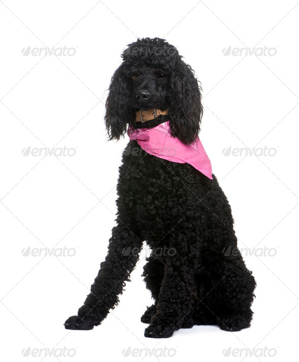 royal Poodle (1 year) - Stock Photo - Images