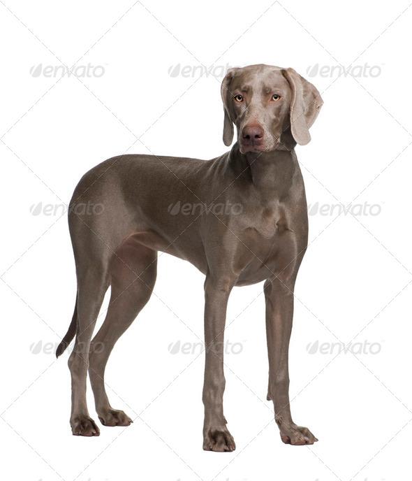 Weimaraner (9 months) - Stock Photo - Images