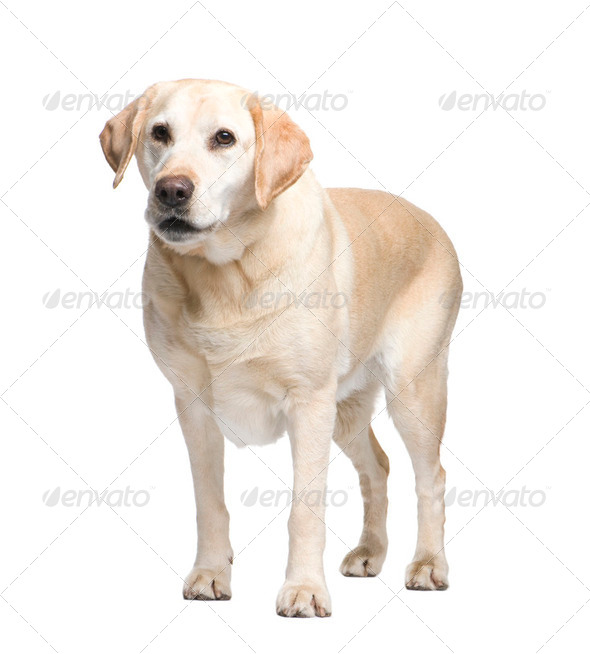 Labrador (9 years) - Stock Photo - Images