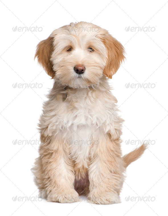 Tibetan Terrier puppy (3 months) - Stock Photo - Images