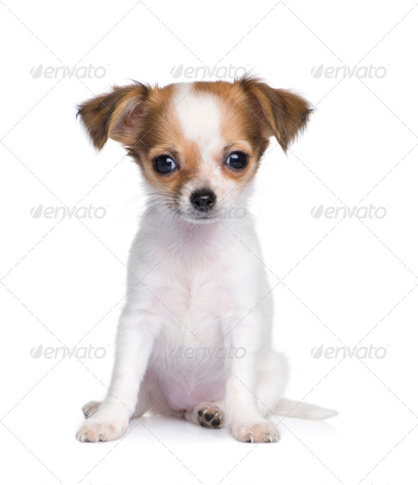 chihuahua (3 moths) - Stock Photo - Images