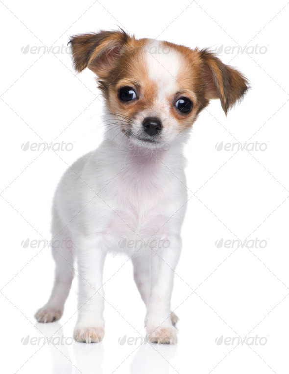 chihuahua puppy (3 moths) - Stock Photo - Images