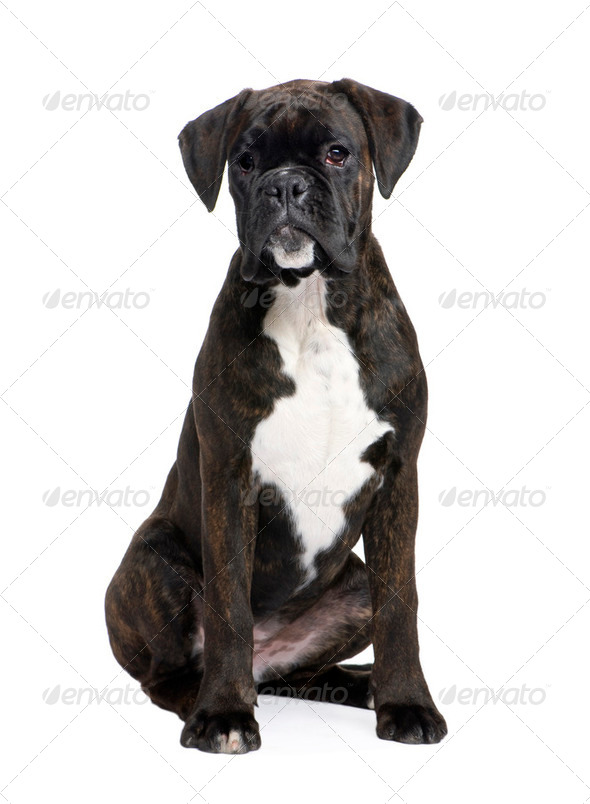 Boxer (5 months) - Stock Photo - Images