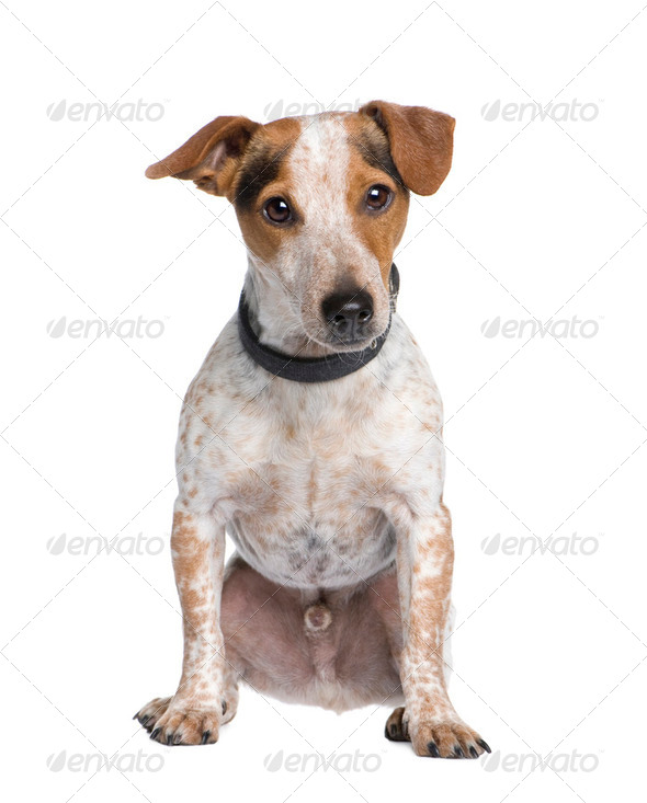 Mixed-Breed Dog between a jack russell and a Dachshund (3 years) - Stock Photo - Images