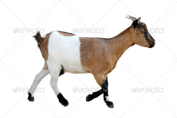 young goat - Stock Photo - Images