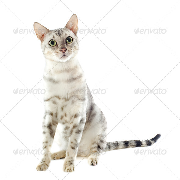 bengal cat - Stock Photo - Images