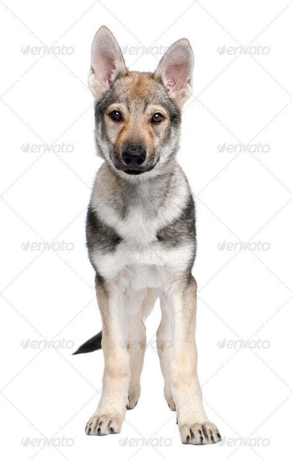 Czechoslovakian Wolfdog puppy (3 months) - Stock Photo - Images