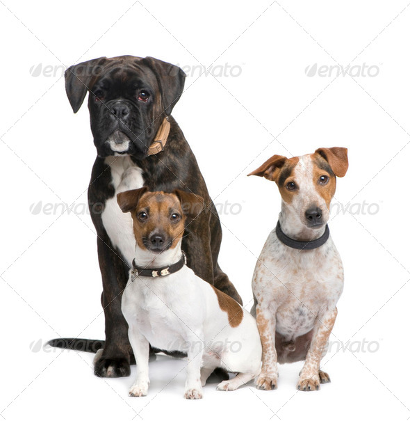 group of three dogs Boxer, Jack russell and a crossbreed - Stock Photo - Images