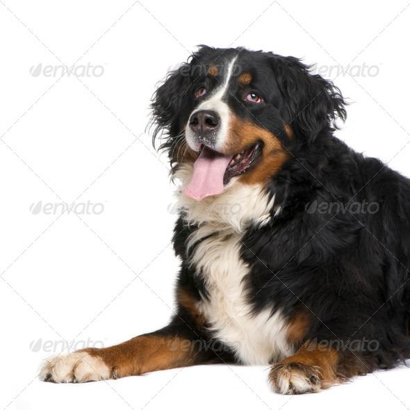 Bernese mountain dog (5 years) - Stock Photo - Images