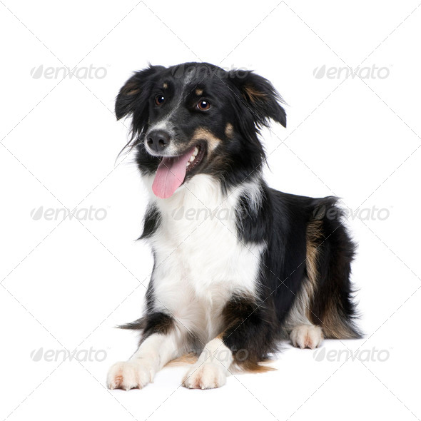 Border Collie (1.5 years) - Stock Photo - Images