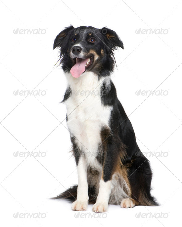 Border Collie (18 months) - Stock Photo - Images