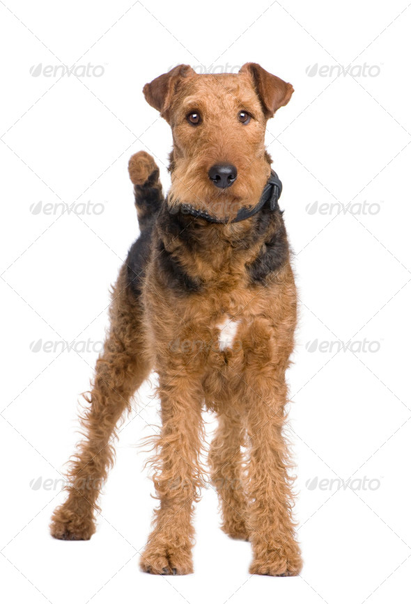 Airedale Terrier (2 years) - Stock Photo - Images