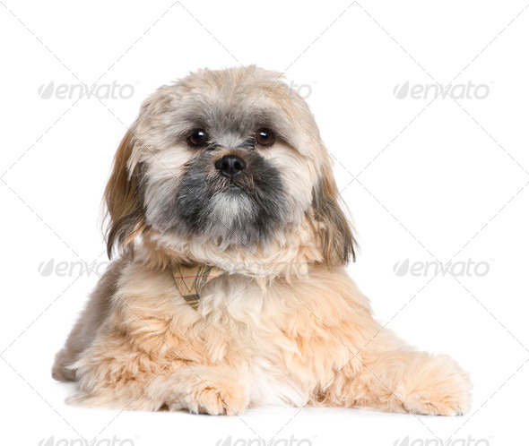 Shih Tzu (8 months) - Stock Photo - Images