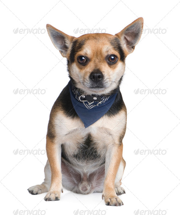 Mixed-Breed Dog with a chihuahua (2 years) - Stock Photo - Images