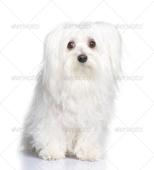 maltese dog (8 years) - Stock Photo - Images