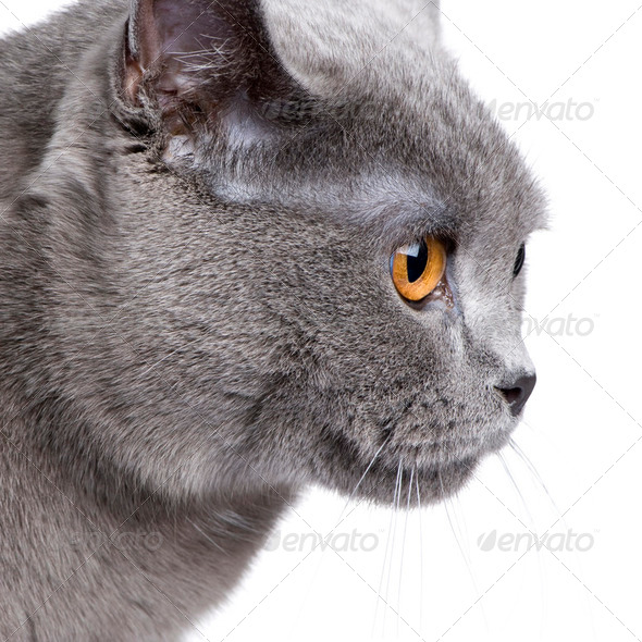 Chartreux (18 months) - Stock Photo - Images