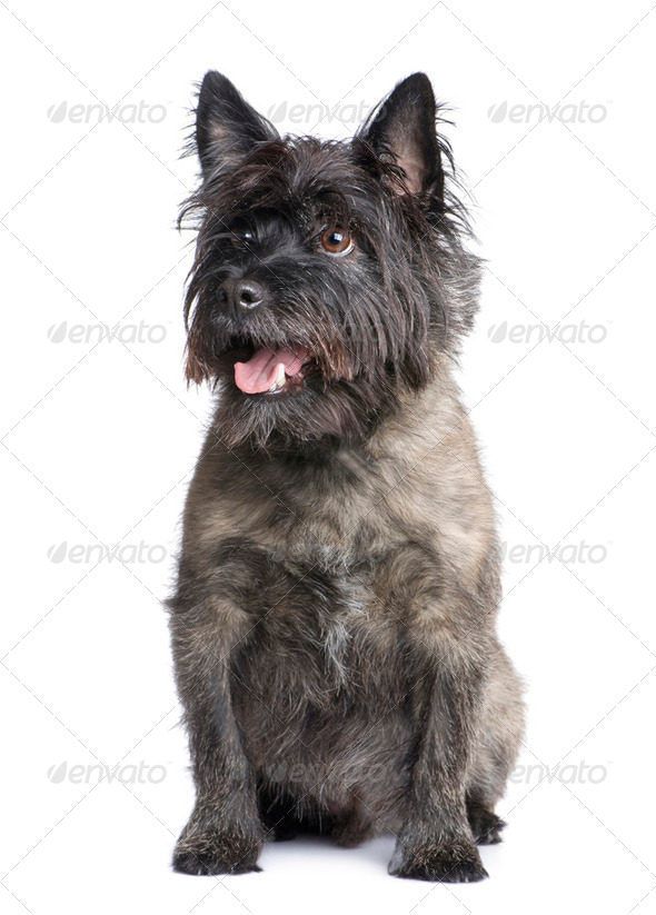 Cairn Terrier (8 years) - Stock Photo - Images