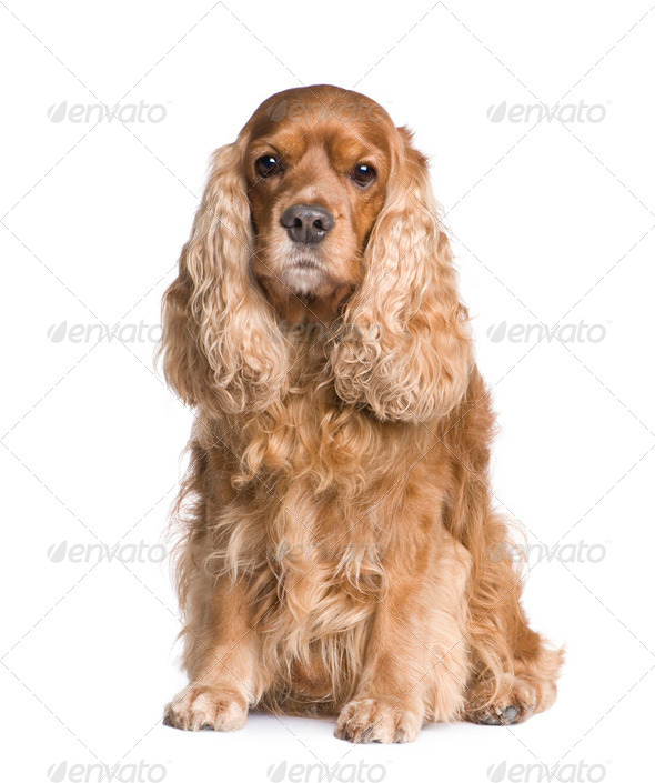 Cocker Spaniel (6 years) - Stock Photo - Images