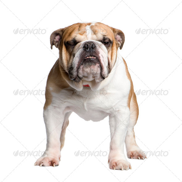 english Bulldog (3 years) - Stock Photo - Images