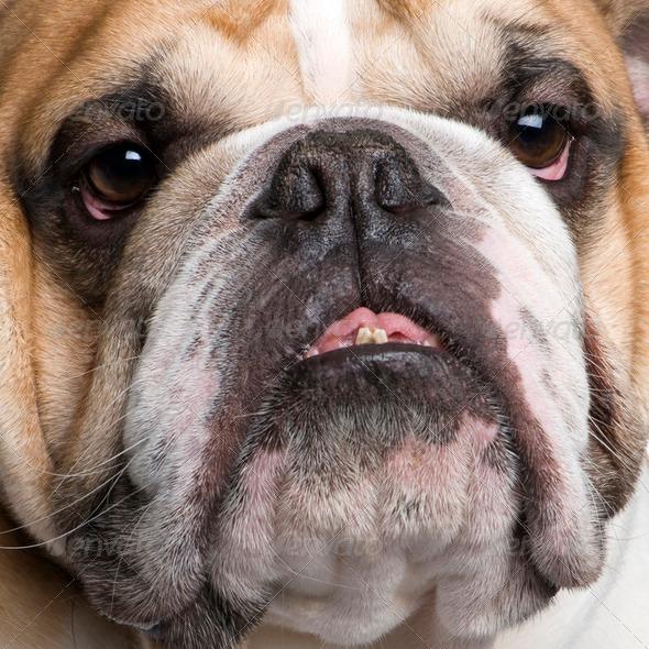 english Bulldog (3 years) - Stock Photo - Images