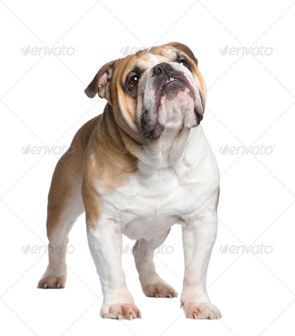 english Bulldog (6 years) - Stock Photo - Images