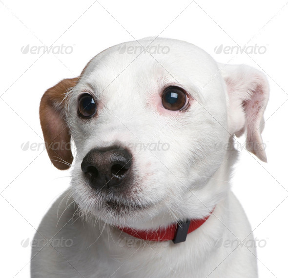 Mixed-Breed Dog with a jack russell (6 years) - Stock Photo - Images