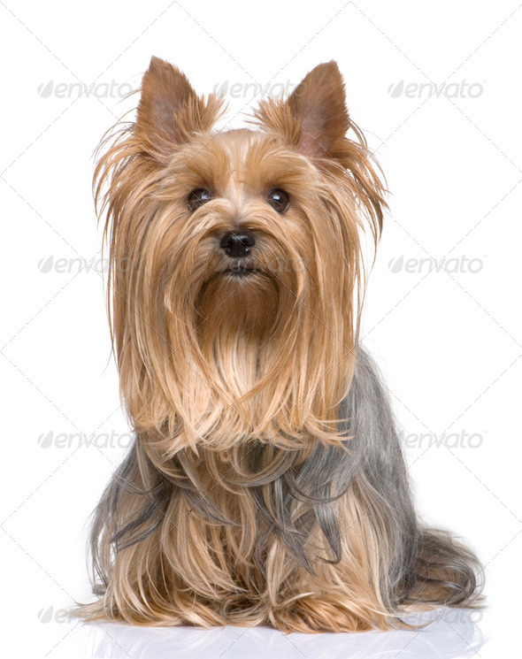 Yorkshire Terrier (5 years) - Stock Photo - Images