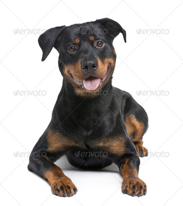 rottweiler (8 months) - Stock Photo - Images