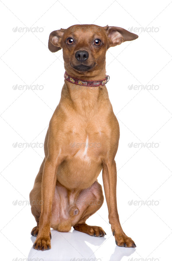 couple of miniature Pinscher (2 years) - Stock Photo - Images