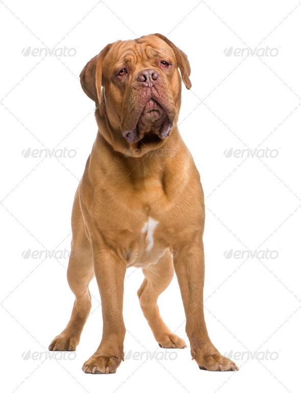 Dogue de Bordeaux (13 months) - Stock Photo - Images