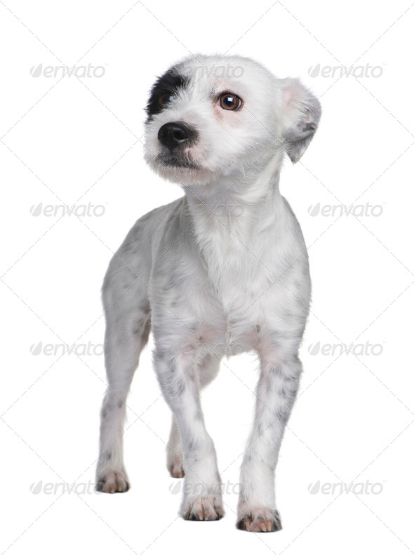 Mixed-Breed Dog between a jack russell and a maltese dog (18 mon - Stock Photo - Images