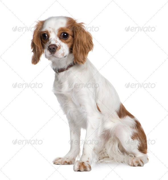 Cavalier King Charles Spaniel (1 year) - Stock Photo - Images