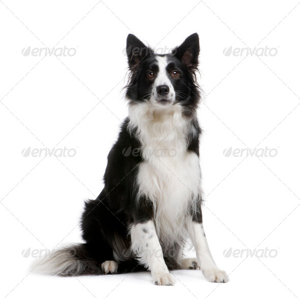 Border Collie (4 years) - Stock Photo - Images