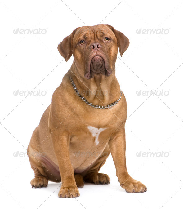Dogue de Bordeaux (1.5 years) - Stock Photo - Images