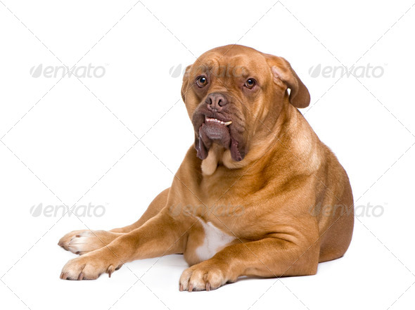 Dogue de Bordeaux (3 years) - Stock Photo - Images