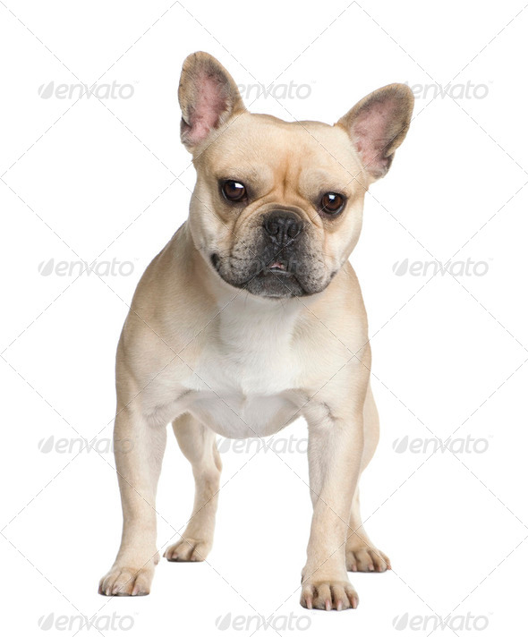 French Bulldog (2 years) - Stock Photo - Images