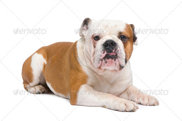 english Bulldog (1 year) - Stock Photo - Images