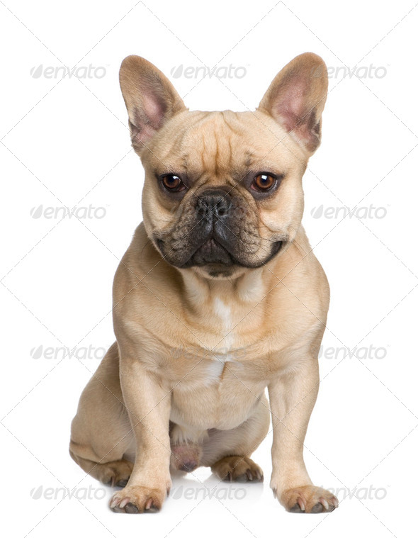 French Bulldog (1 year) - Stock Photo - Images