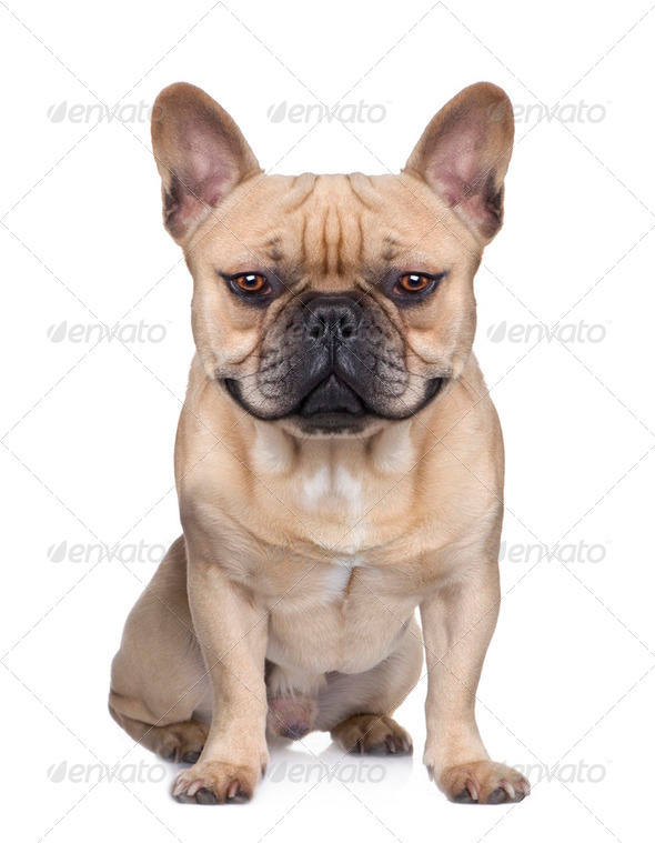 French Bulldog (1 year) (Digital enhancement) - Stock Photo - Images
