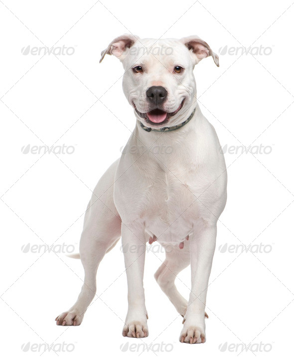 American Staffordshire terrier (4 years) - Stock Photo - Images