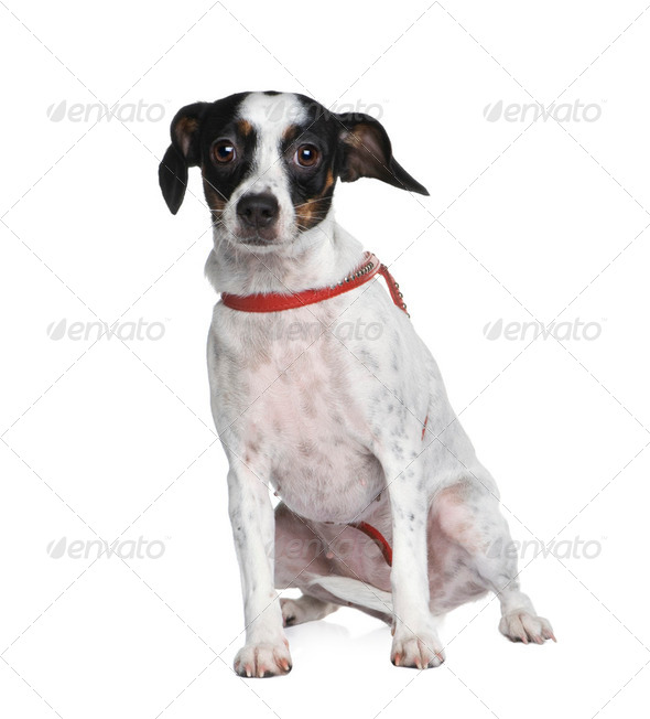 Mixed-Breed Dog between a jack russel and a cavalier king charle - Stock Photo - Images