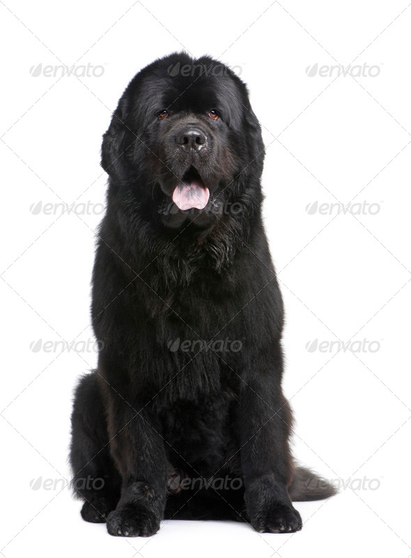 Newfoundland (3.5 years) - Stock Photo - Images