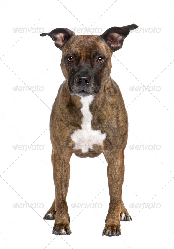 American Staffordshire terrier (8 years) - Stock Photo - Images