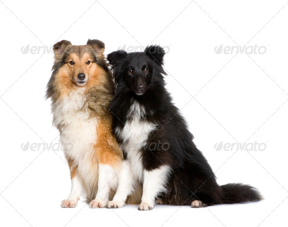 couple of shelties - Stock Photo - Images