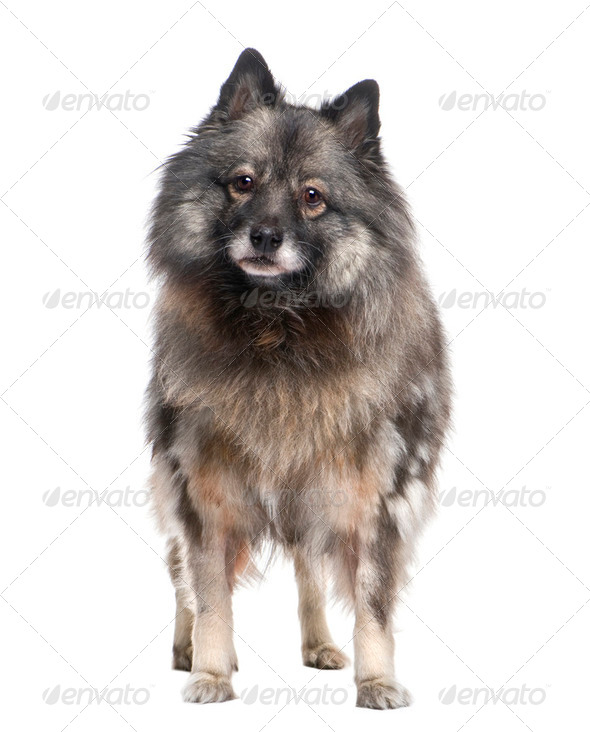 Keeshond (9 years) - Stock Photo - Images
