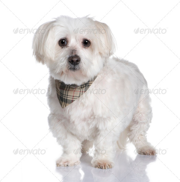 maltese dog (13 years) - Stock Photo - Images