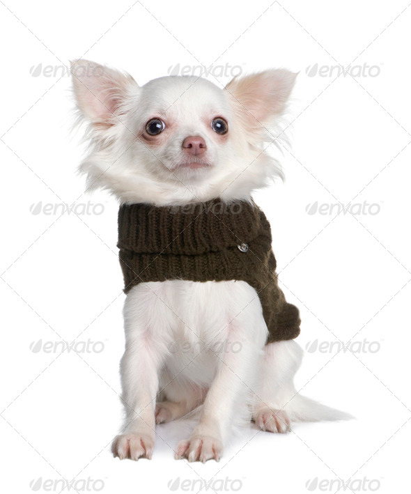 chihuahua (8 months) - Stock Photo - Images