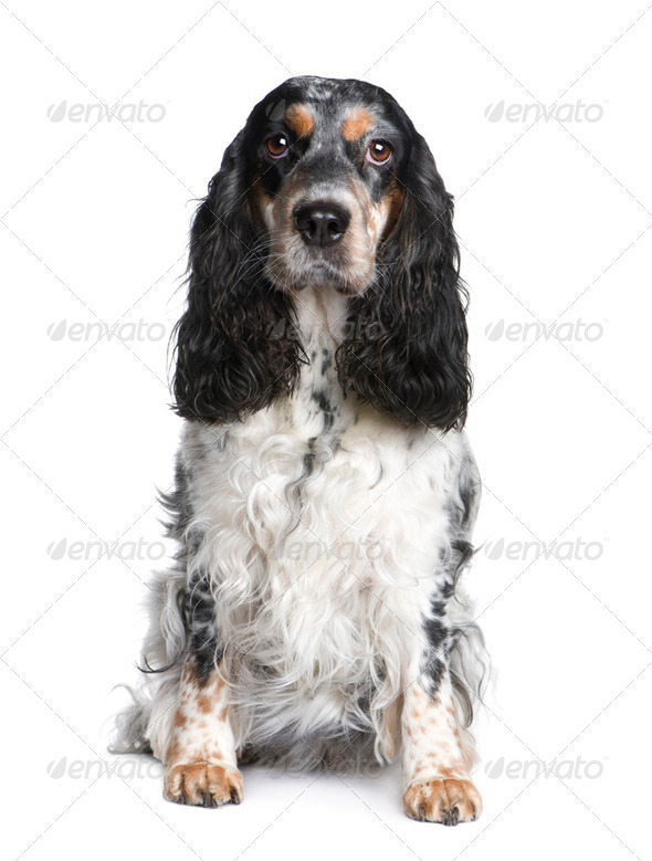 Cocker Spaniel (5 years) - Stock Photo - Images