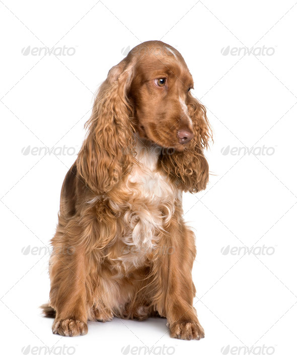Cocker Spaniel (1.5 years) - Stock Photo - Images
